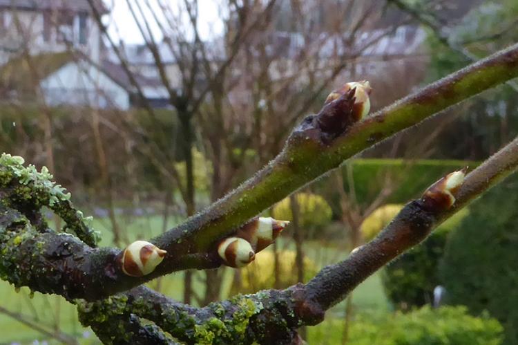 plum tree buds