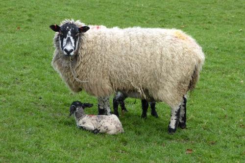 Milnholm lamb.