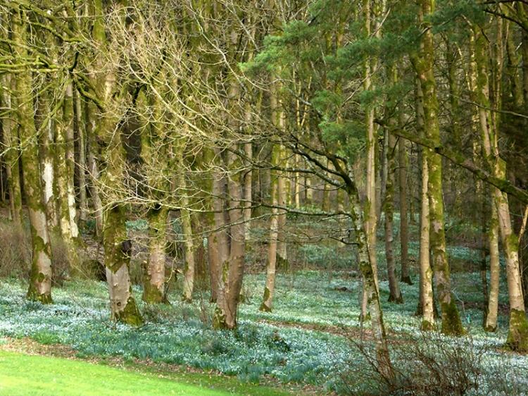 Holmhead snowdrops