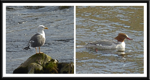Gull and Goosander.