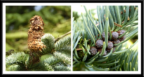 Noble fir flowers.