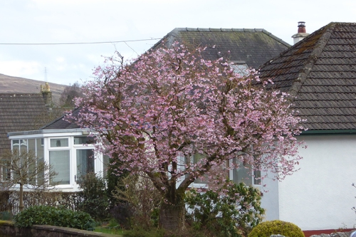 Mike and Alison's cherry tree