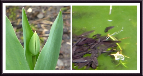 tulip and tadpoles