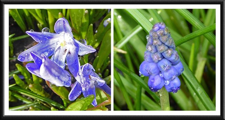 chionodoxa and hyacinth