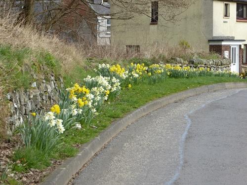 Meikleholm daffodils