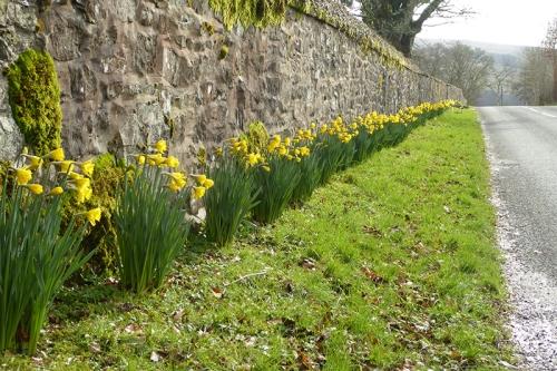 Springhill Daffodils