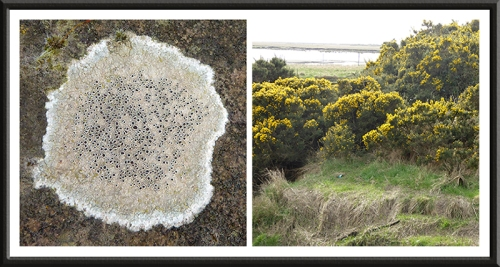 brow well lichen and gorse