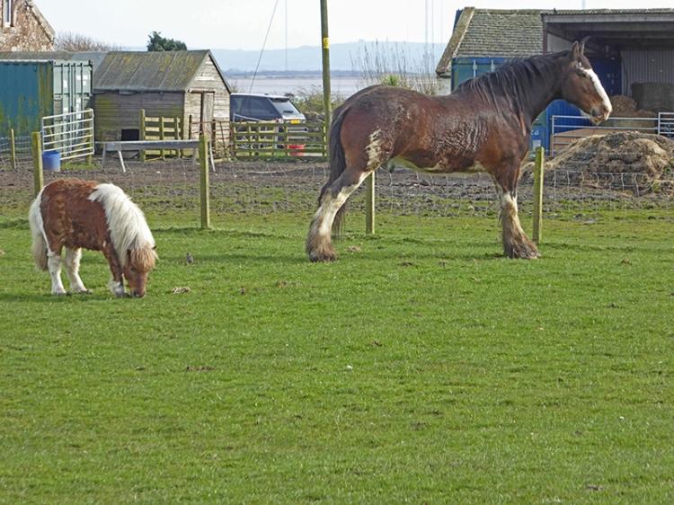 powfoot horses