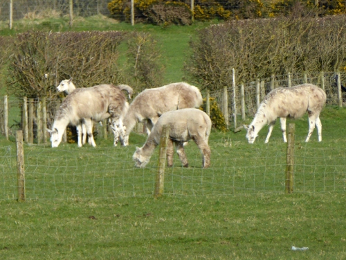 powfoot alpacas
