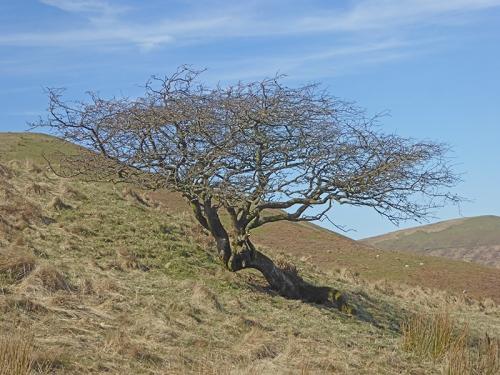 Meikleholm tree