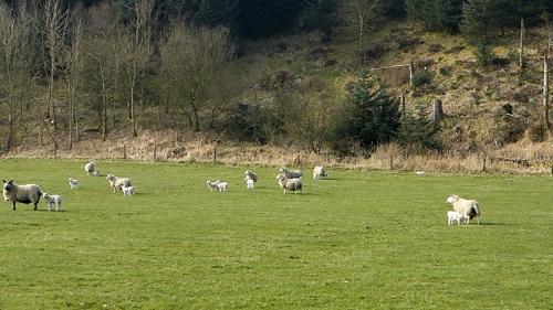 lambs at Bigholms