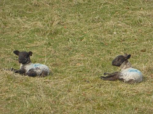 Castlemilk lambs