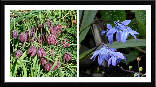 fritillary and scilla