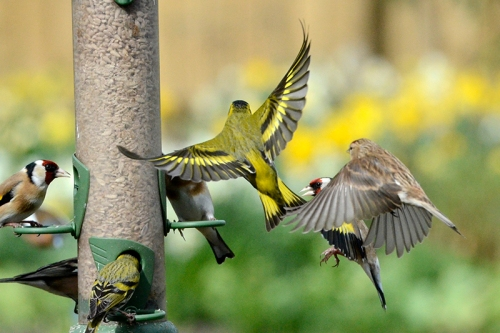 siskin, goldfinch, redpoll