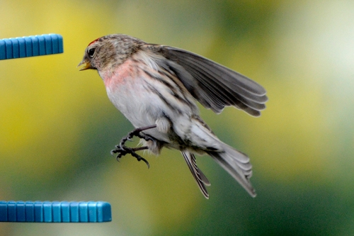 flying redpoll