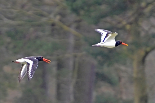 oyster catchers flying