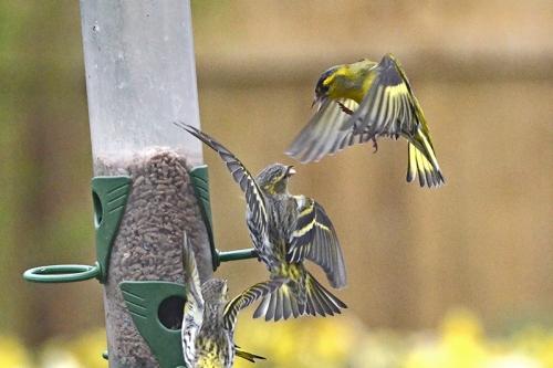 siskins squabbling