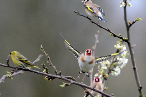 Goldfinch leaving plum tree