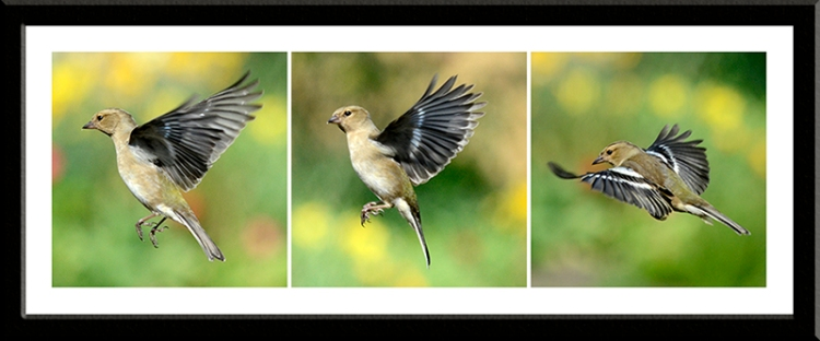 female chaffinches