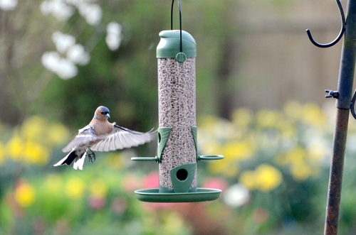 chaffinch new feeder