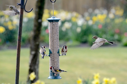 goldfinches and a chaffinch