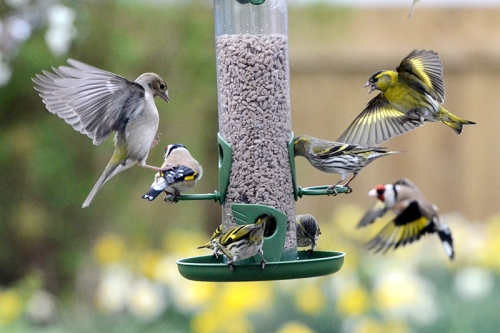 chaffinch, goldfinch and siskins