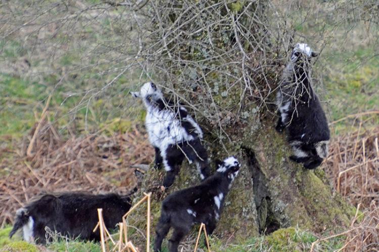 wild goats Langholm Moor