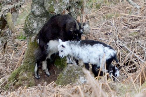 wild goats Langholm Moor kid