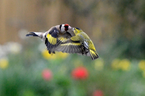 goldfinch facing up to siskin