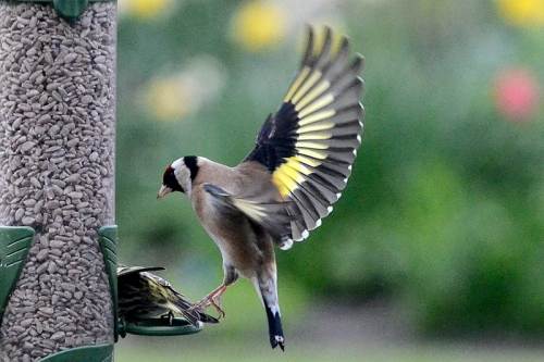 goldfinch kicking siskin