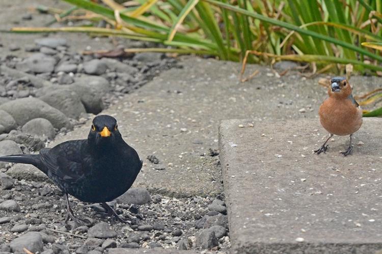 blackbird, chaffinch