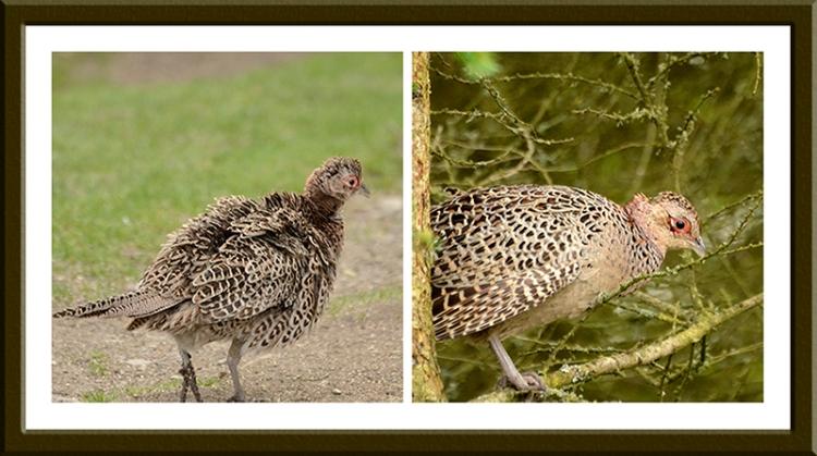 female pheasants