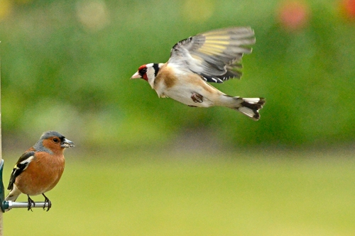 flying goldfinch and chaffinch