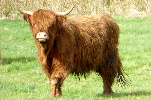 Canonbie cow