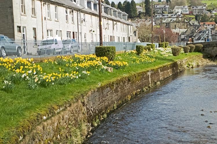 Caroline Street daffodils