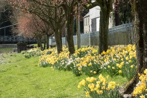 Elizabeth Street daffodils