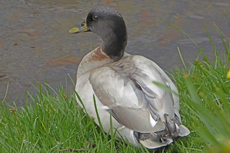 kilngreen duck