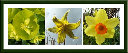 euphorbia, dog tooth violet, daffodil