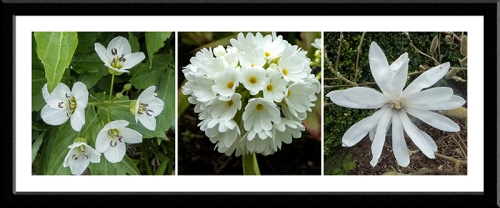 , cuckoo flower, primula and magnolia
