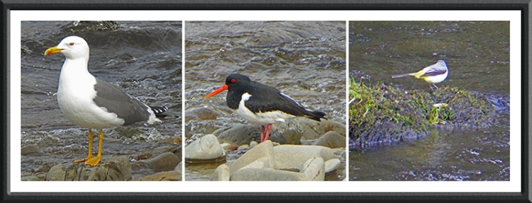 grey wagtail, oyster catcher and herring gull