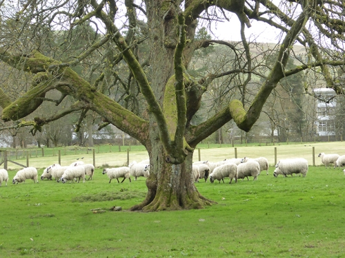 tree with sheep