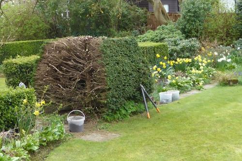 yew bush