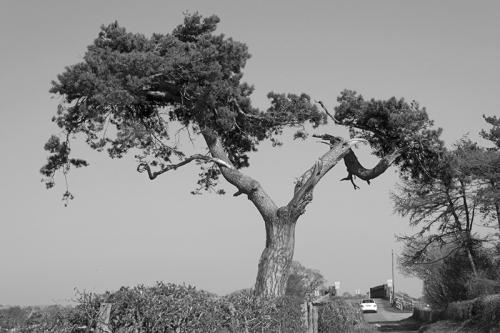 Rockcliffe tree