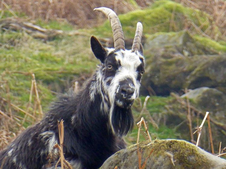 Tarras goats