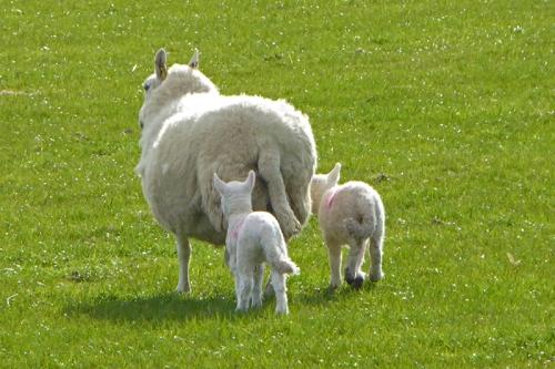 cleuchfoot lambs
