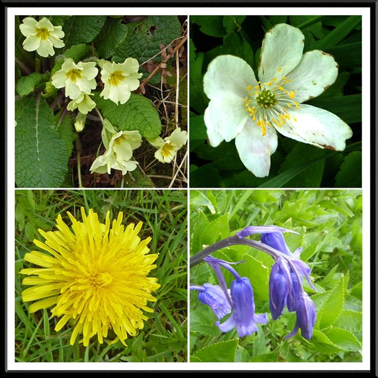 primrose, wood anemone, dandelion, bluebell