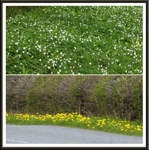 anemones and dandelions
