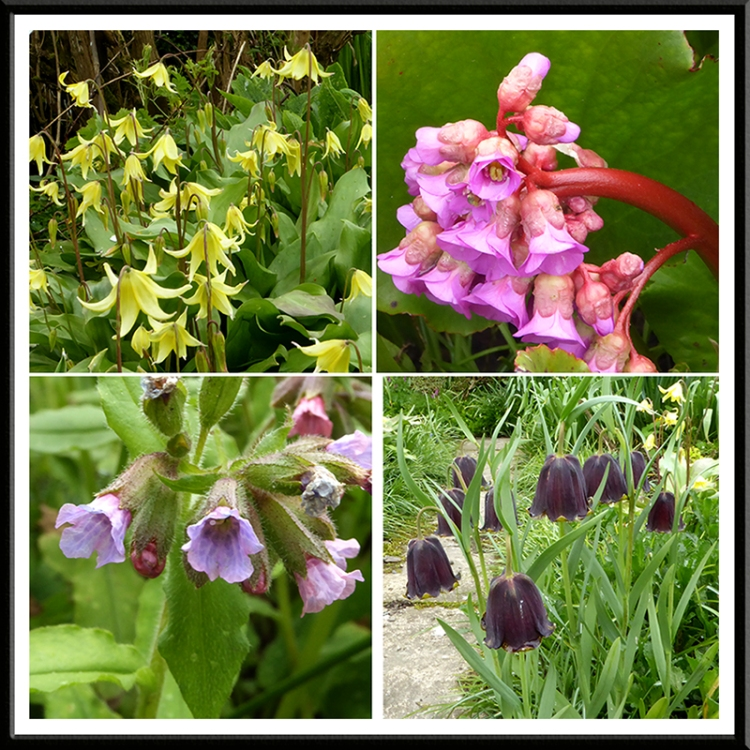 violet, bergenia, pulmonaria and fritillary