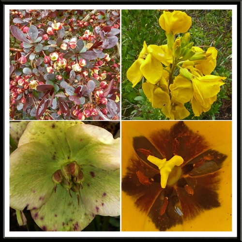 berberis, wallflower, hellebore and tulip