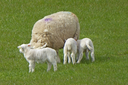 Eskdalemuir lambs